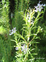 http://newsn.files.wordpress.com/2012/01/rosmarinusofficinalis-flowers.jpg?w=219&h=292